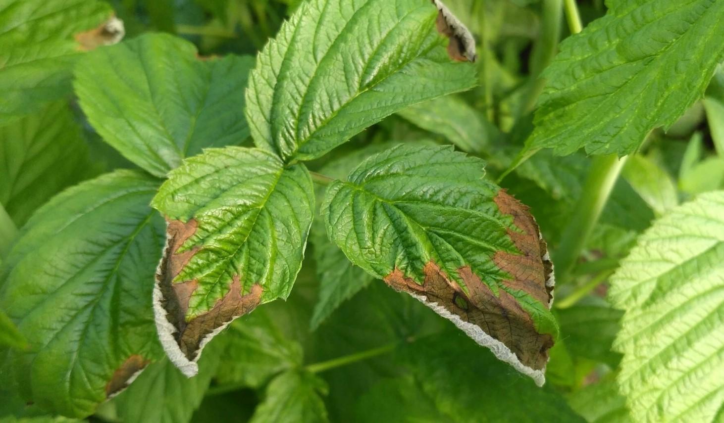Сухие кончики листьев малины