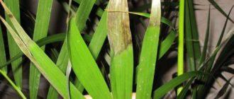 Сухие кончики листьев пальмы