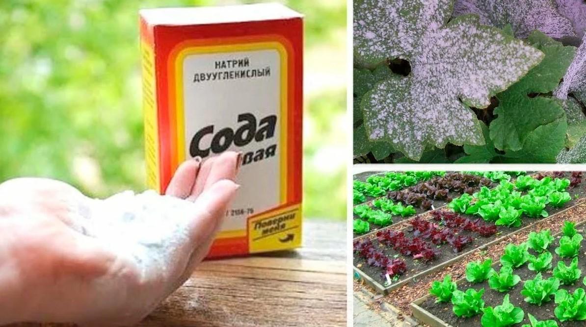 Пищевая сода для огорода