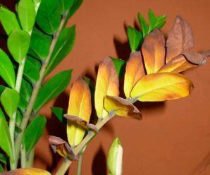 Долларовое дерево: сохнут листья (причины, и их решение)
