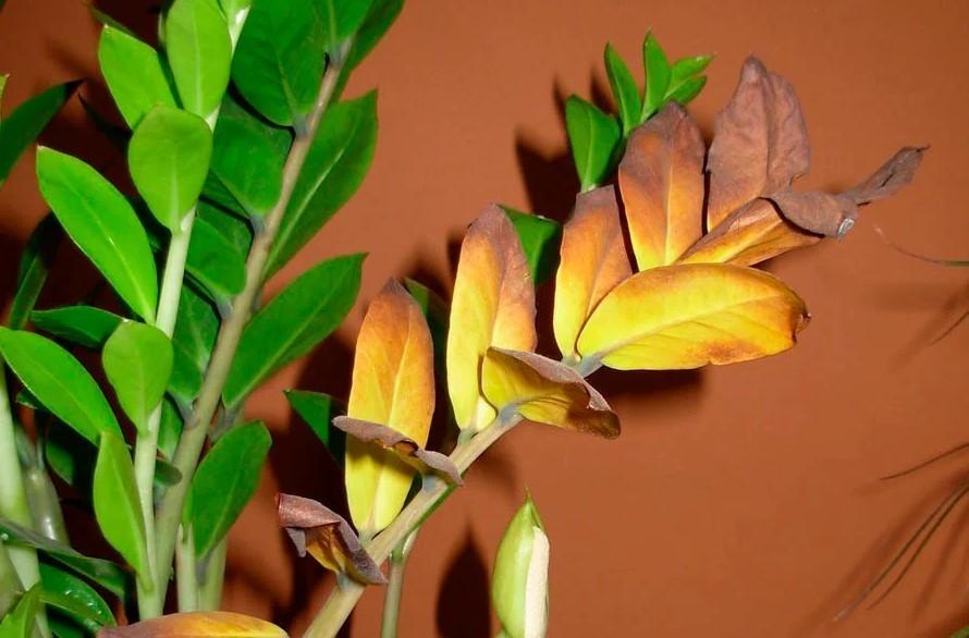 Cохнут листья у долларового дерева