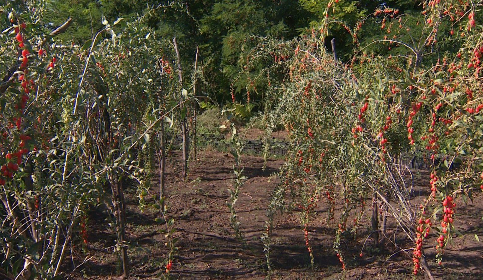 Выращивание ягод годжи