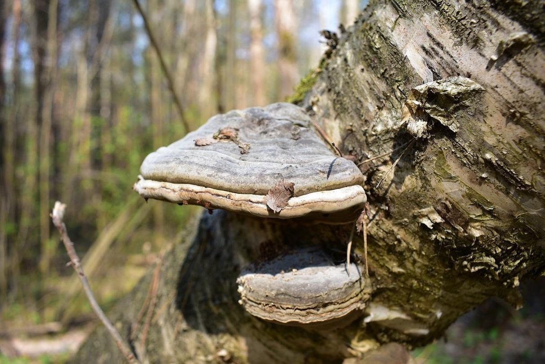 Трутовик на дереве