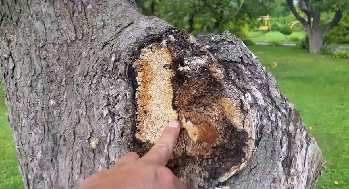 Дерево поражено трутовиком
