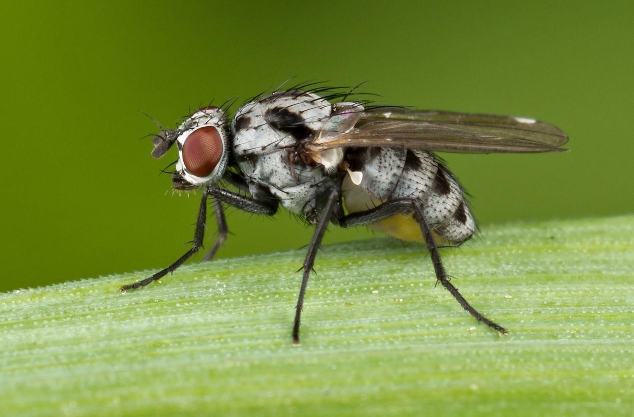 Цветочная муха
