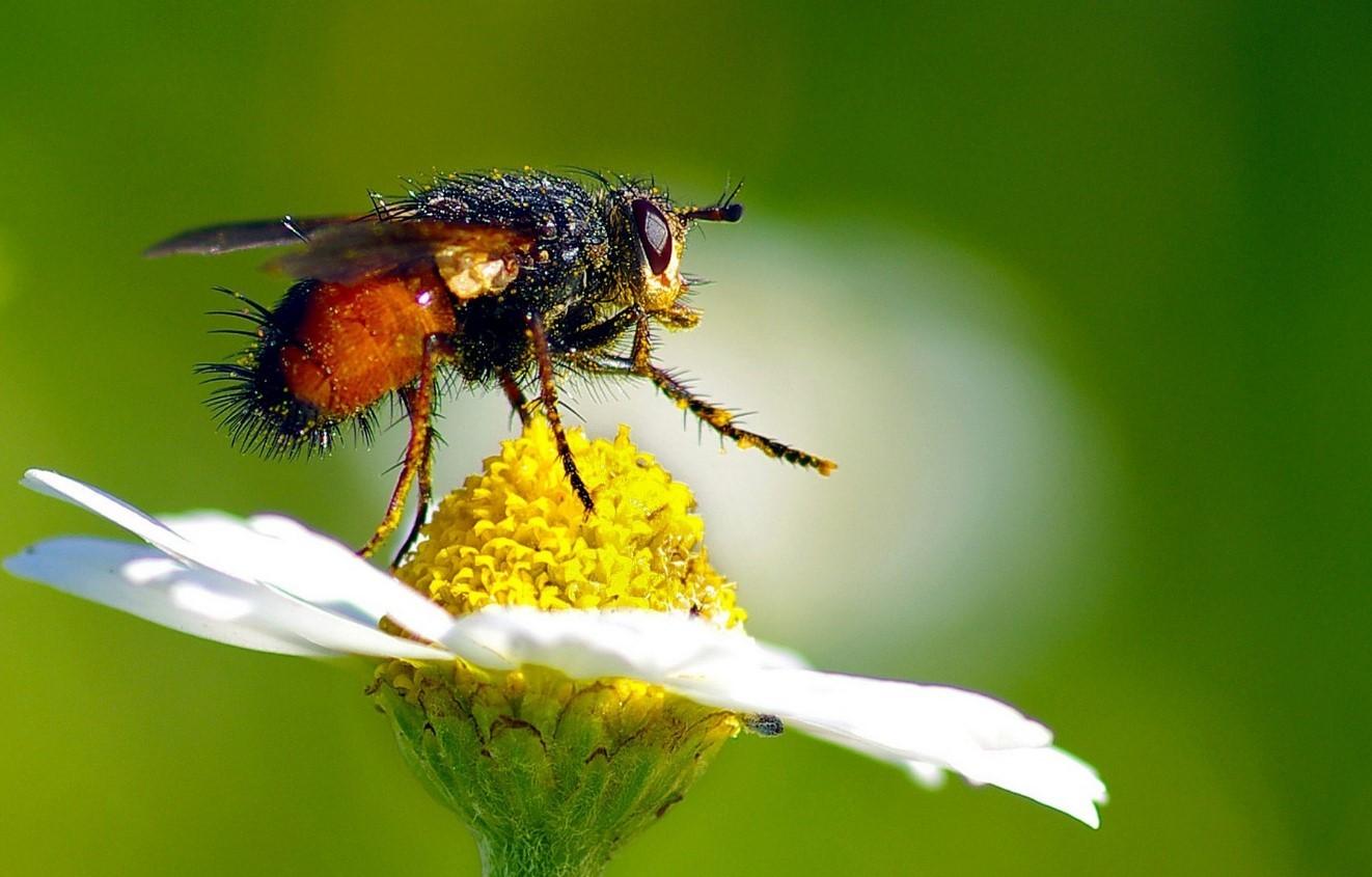 Цветочная муха на цветке
