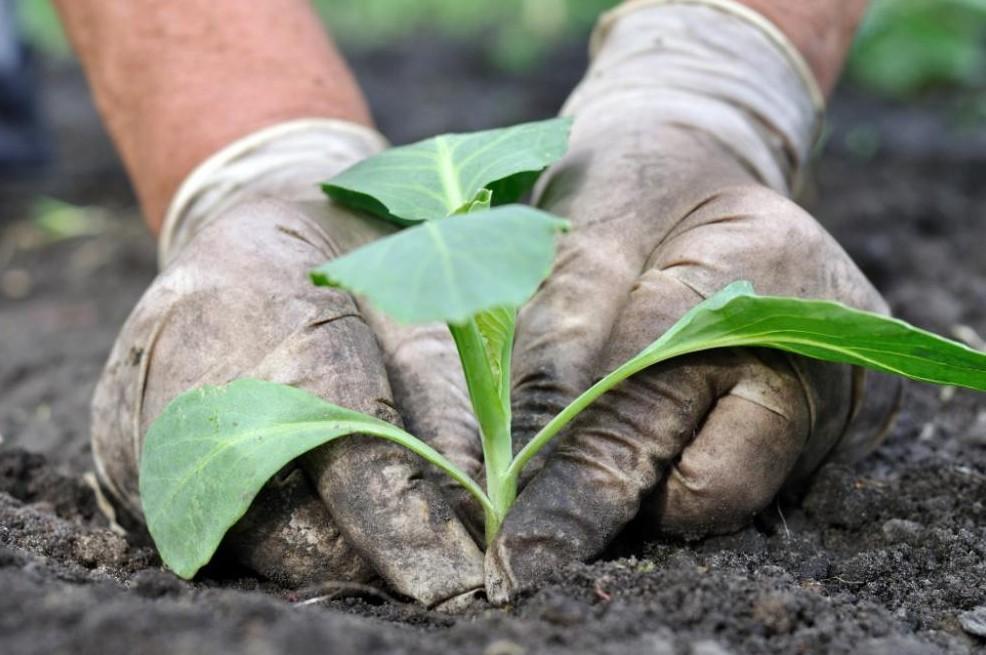Посадка огородного растения в открытый грунт