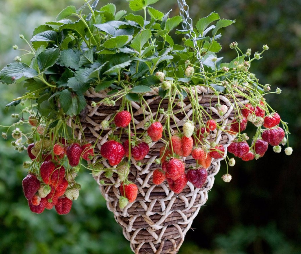 Вьющаяся садовая земляника