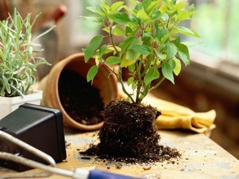 Пересадка домашнего растения