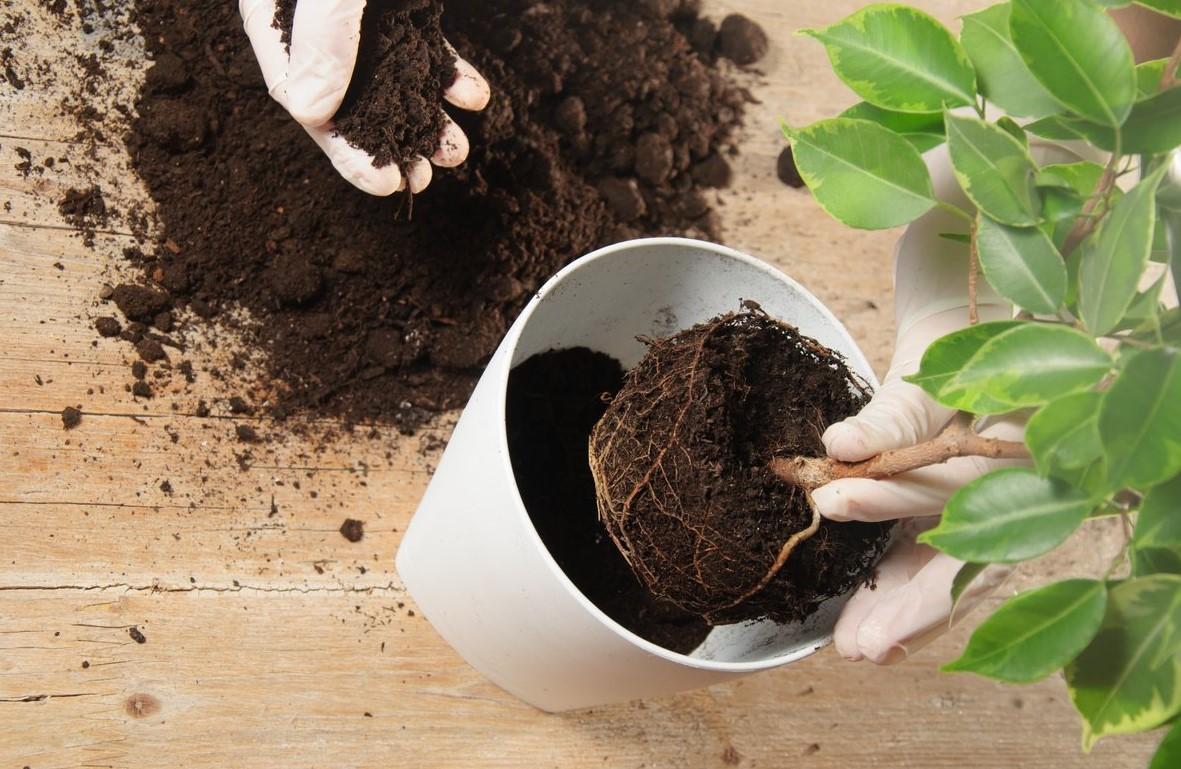 Перевалка комнатного растения