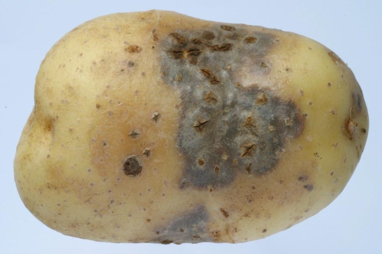 Испорченная картошка