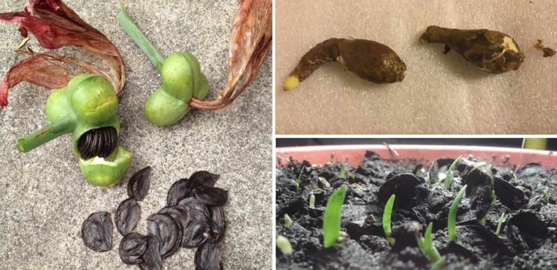 амариллис размножение семенами
