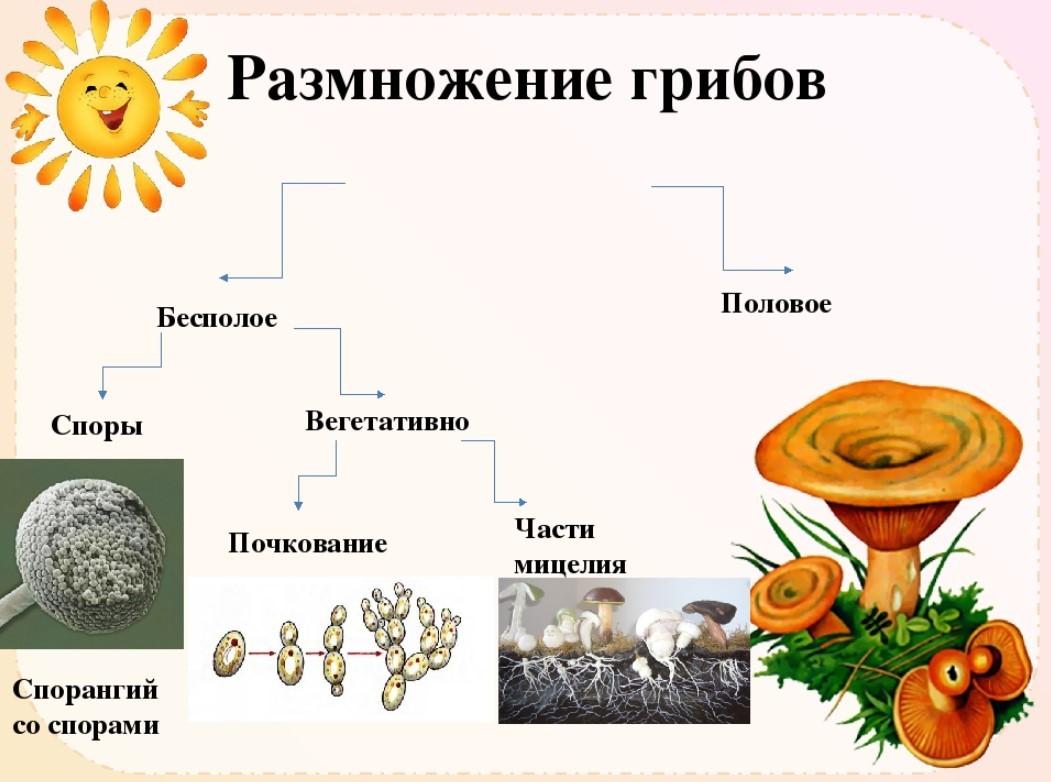 Размножения грибов