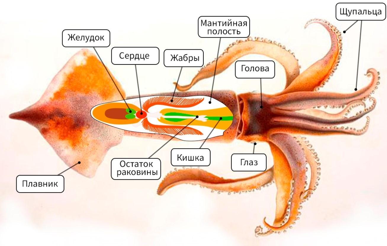 Строения кальмара