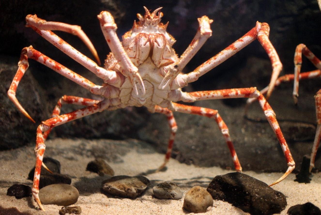 Краб-паук японский