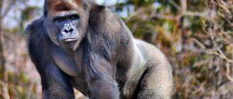 Самая большая обезьяна