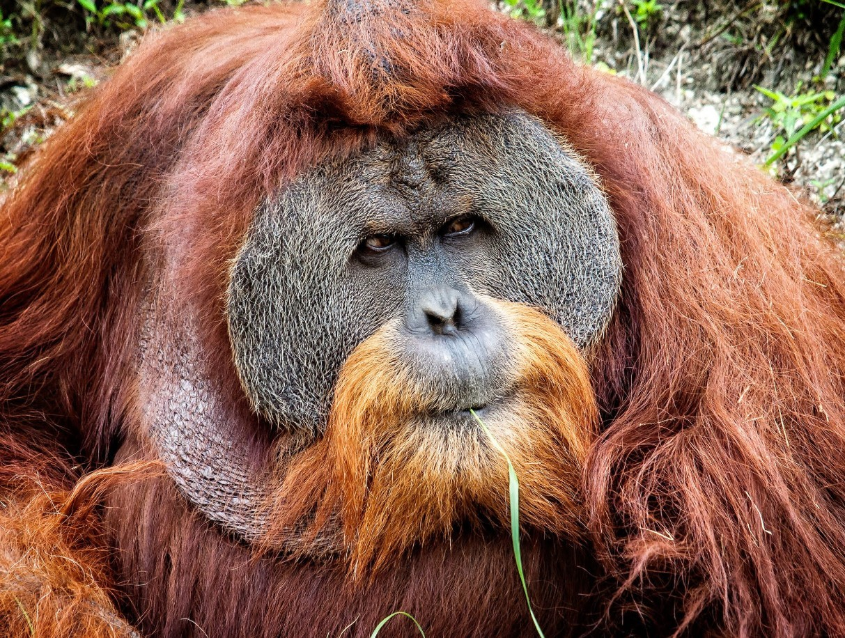 Суматранский орангутанг