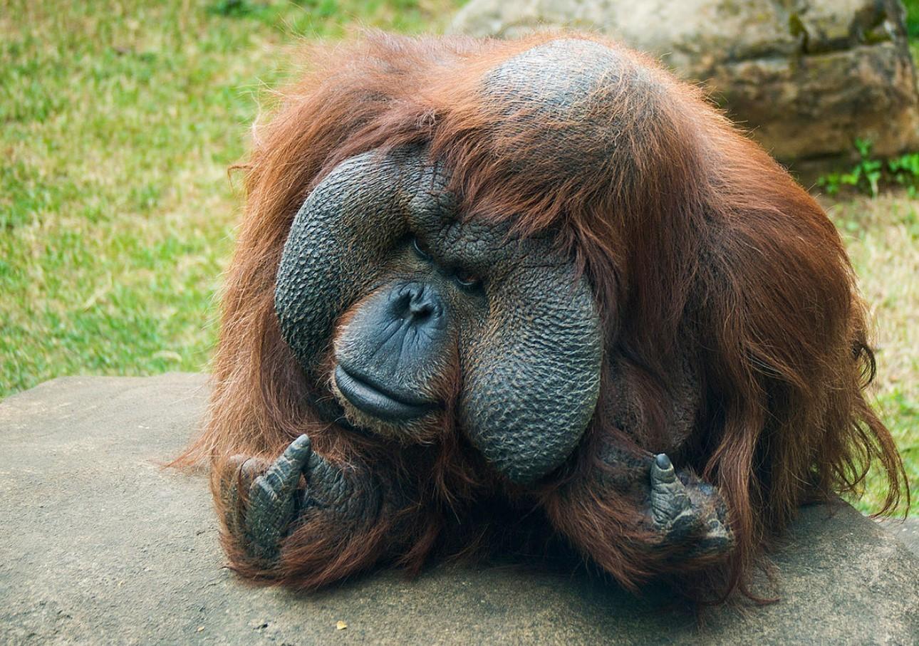 Борнейский орангутанг