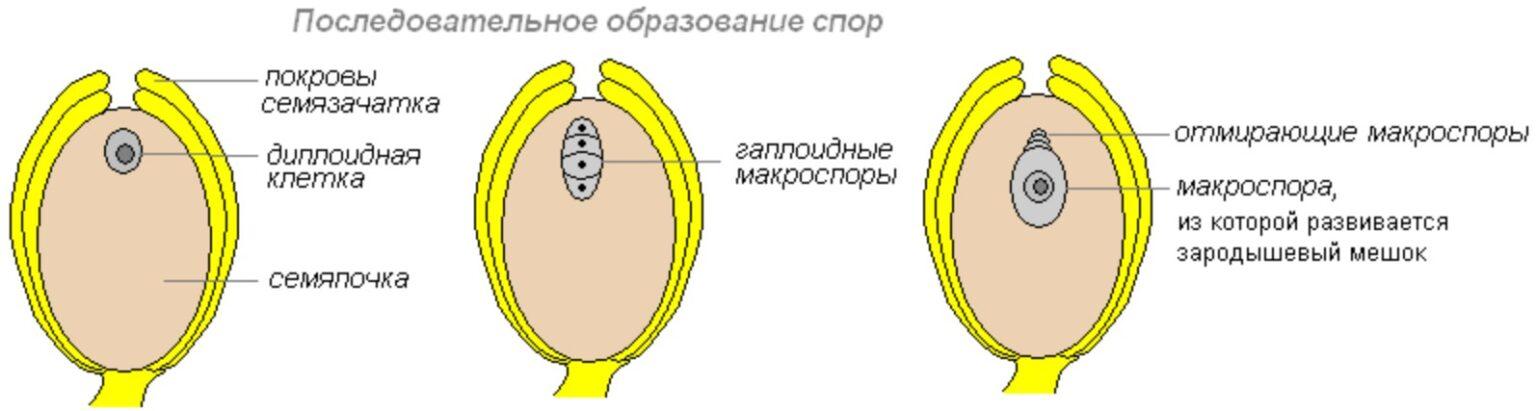 Макроспора