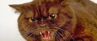 Злые кошки