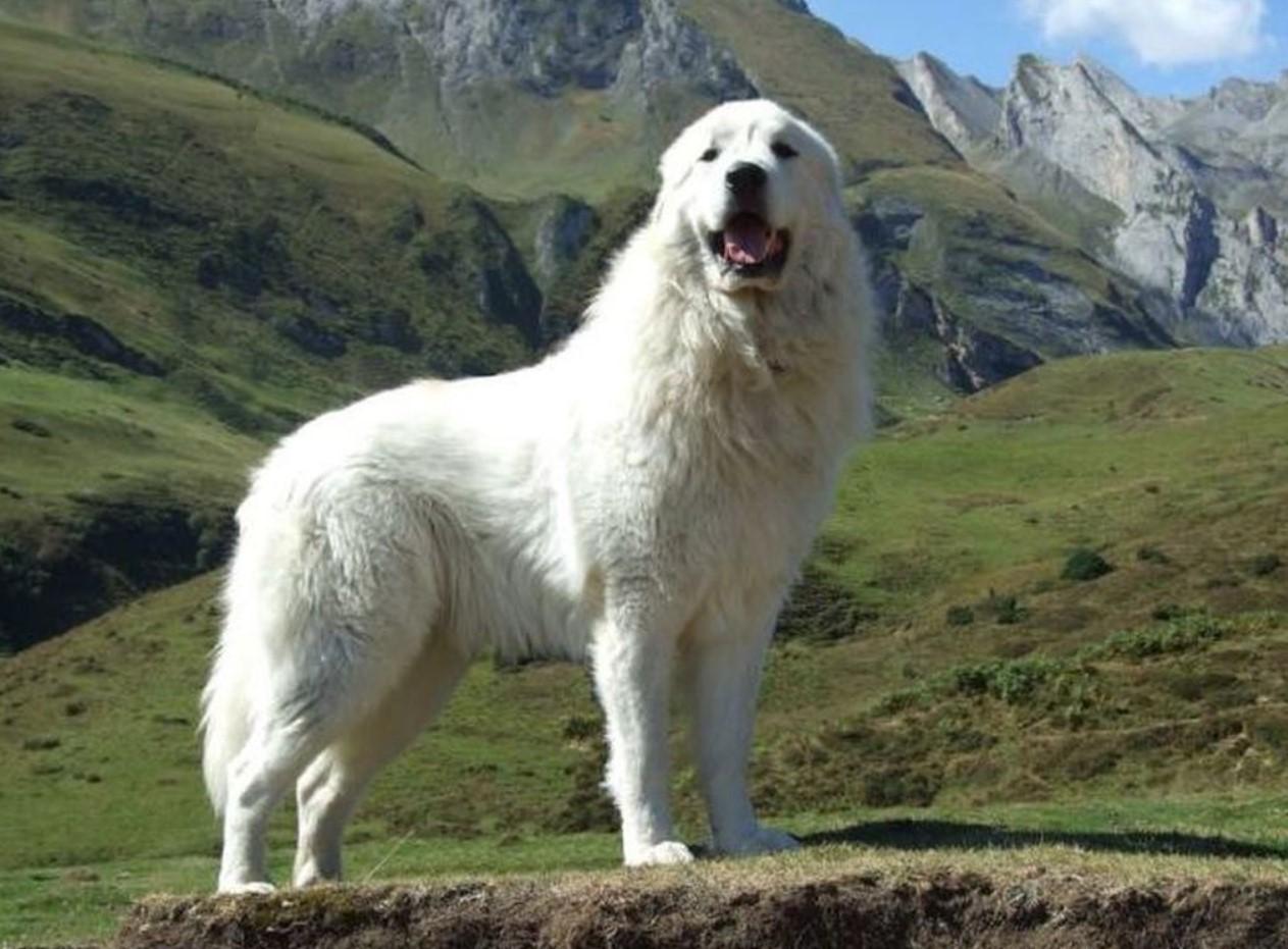 Пиренейская горная