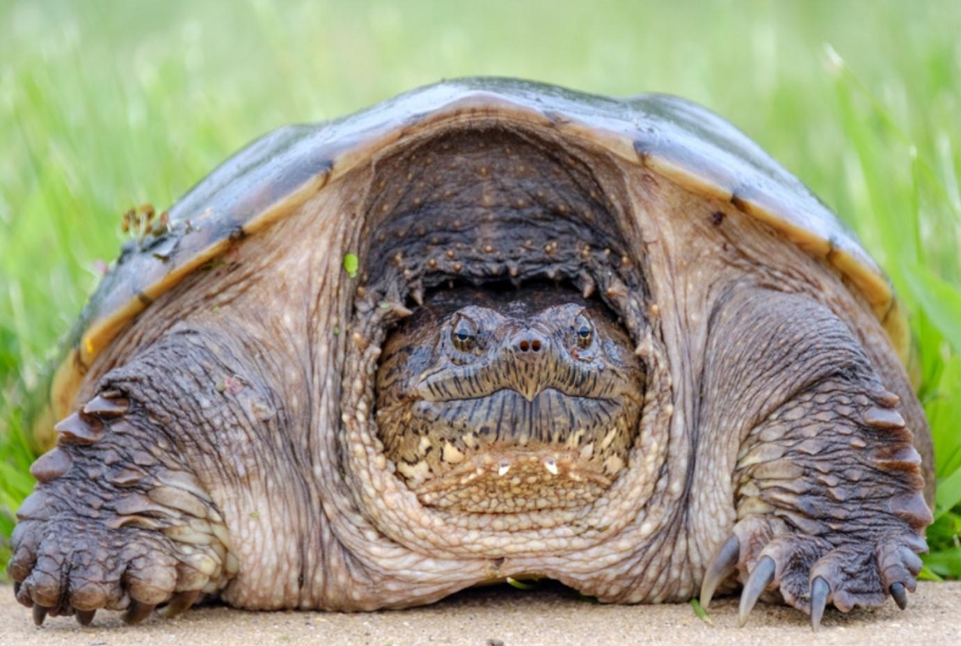 Каймановаячерепаха