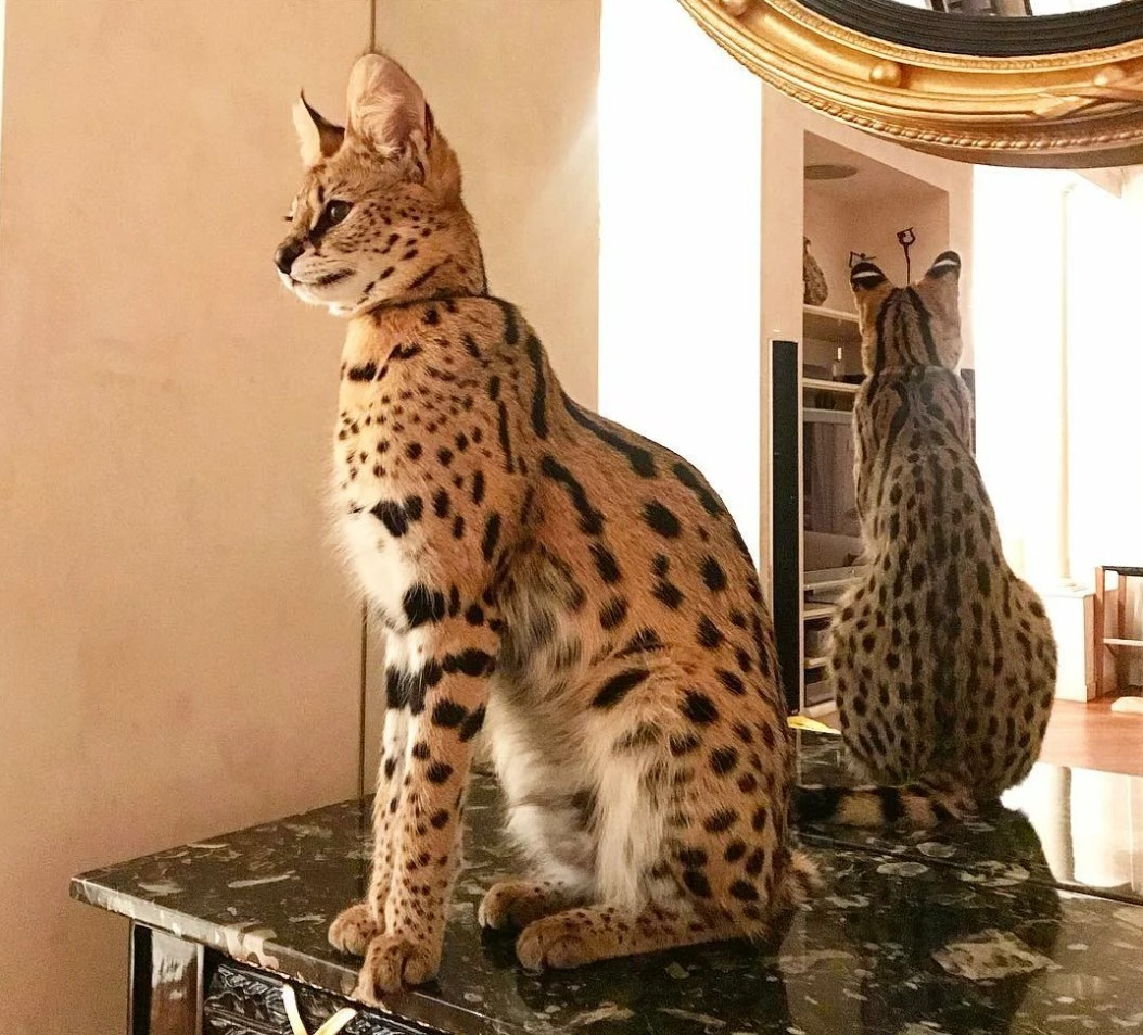 Самая большая кошка