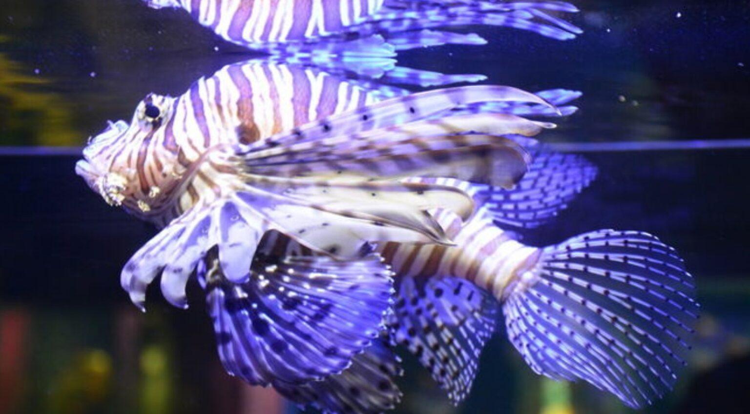 Коралловая лучеперая рыбка