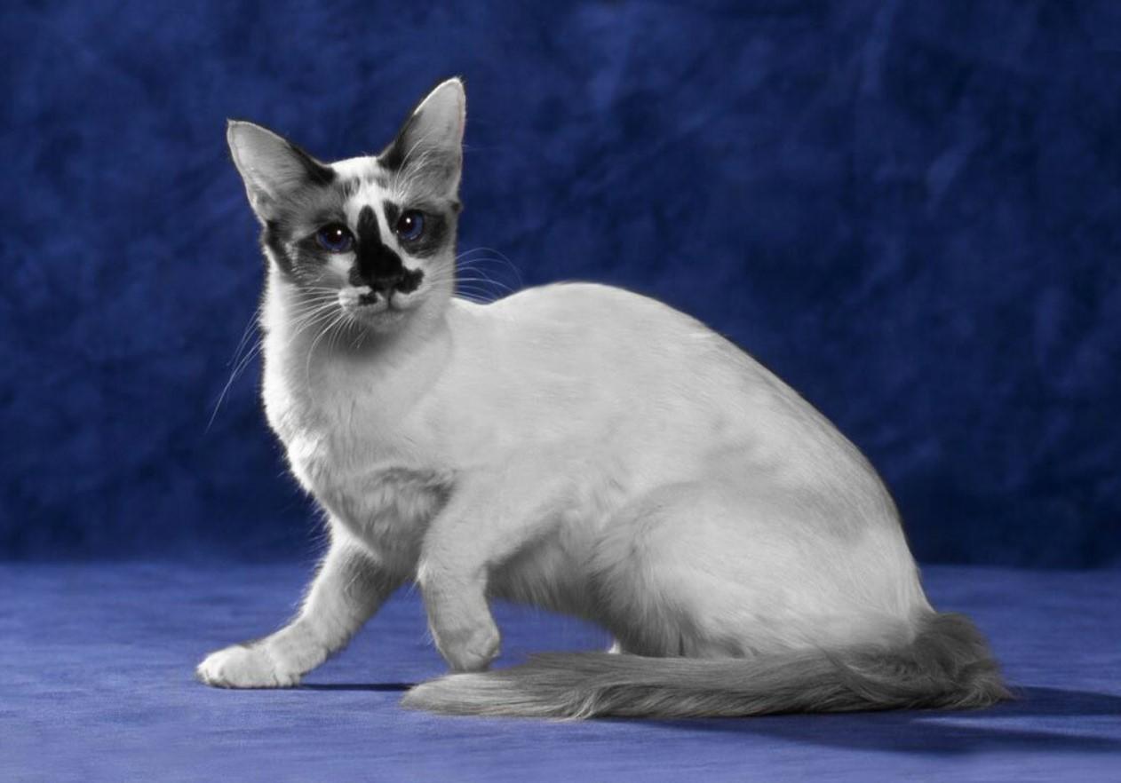 Балийская кошка