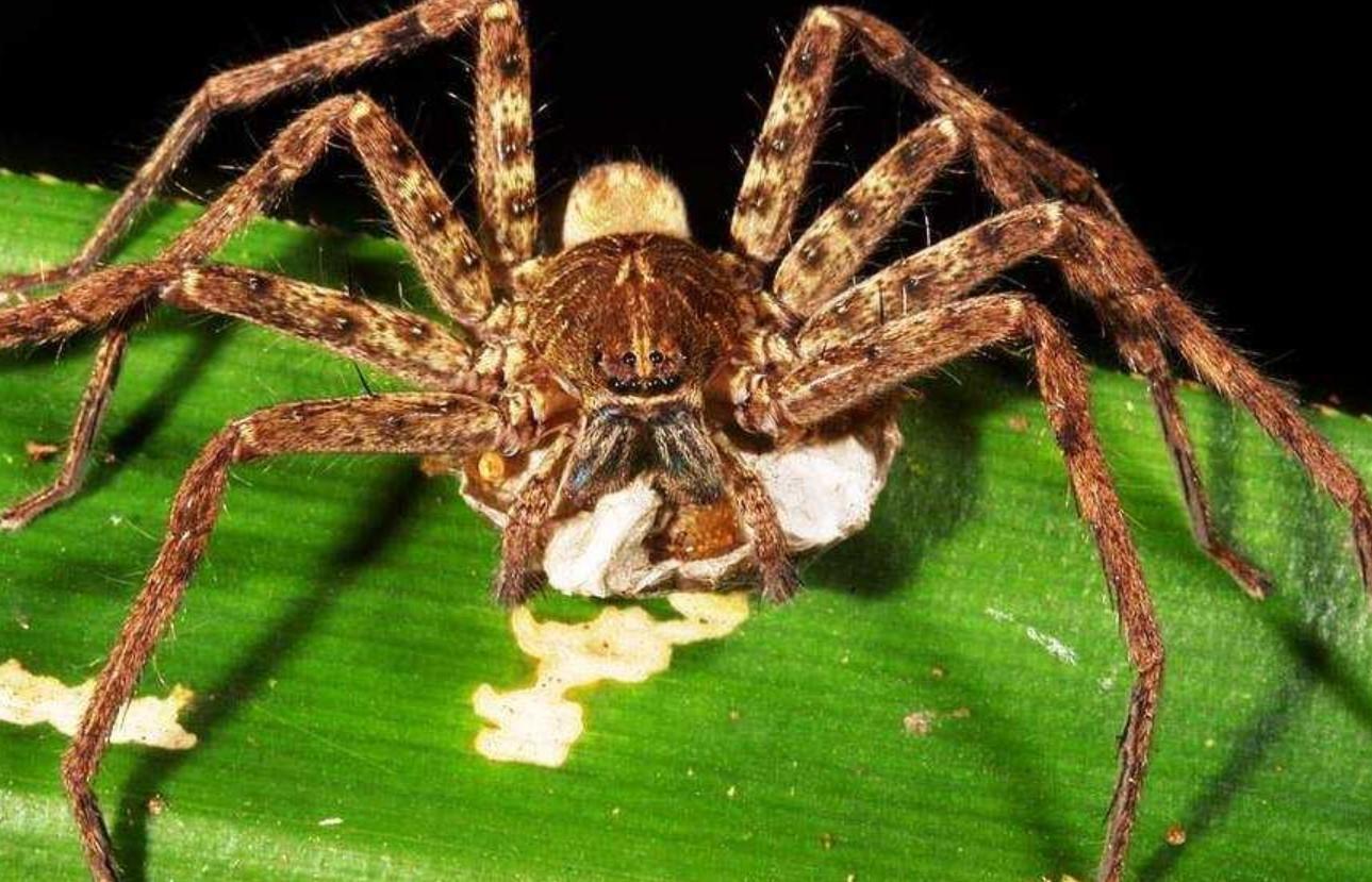 Гигантский паук-охотник