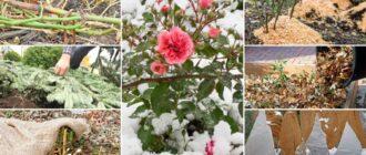 Зимовка садовых роз
